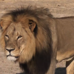 Pet psychic claims to communicate with Cecil the Lion