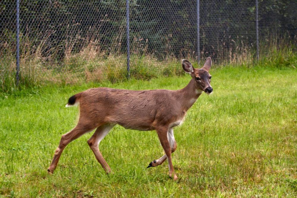 deer crossed my path